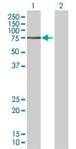 Western blot - MSL2L1 antibody (ab67379)