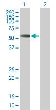Western blot - MCRS1 antibody (ab67393)
