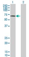 Western blot - SEC23IP antibody (ab67419)