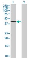 Western blot - PAFAH2 antibody (ab67473)