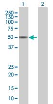 Western blot - NAGA antibody (ab67529)