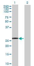 Western blot - GRPEL1 antibody (ab67536)