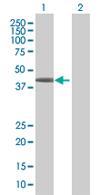 Western blot - SSBP4 antibody (ab67542)