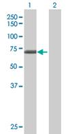 Western blot - WDR16 antibody (ab67545)