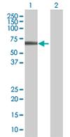 Western blot - ZNF410 antibody (ab67559)