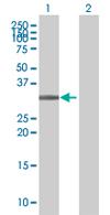 Western blot - ARGFX antibody (ab67562)