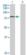 Western blot - TNXB antibody (ab67586)