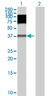 Western blot - C19orf2 antibody (ab67603)