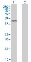 Western blot - ZNF157 antibody (ab67645)