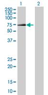 Western blot - ZNF169 antibody (ab67686)