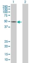Western blot - ZNF565 antibody (ab67727)