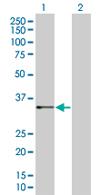Western blot - IMPA2 antibody (ab67787)