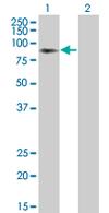 Western blot - BTN3A3 antibody (ab67789)