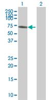 Western blot - ZNF165 antibody (ab67797)