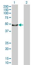 Western blot - Acylglycerol Kinase antibody (ab67806)