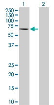 Western blot - HRG antibody (ab67807)