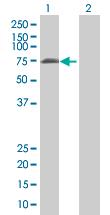 Western blot - LONRF2 antibody (ab67815)