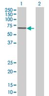 Western blot - CDC2L6 antibody (ab67842)