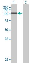 Western blot - PWP2H antibody (ab67848)