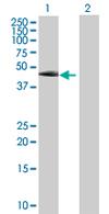 Western blot - TEKT1 antibody (ab67851)