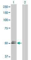 Western blot - HNT antibody (ab67860)