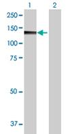 Western blot - PMFBP1 antibody (ab67871)
