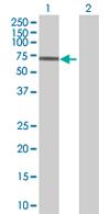 Western blot - ZNF189 antibody (ab67883)