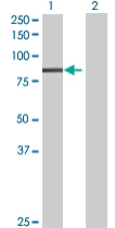 Western blot - PLK3 antibody (ab67922)