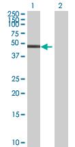 Western blot - MKRN2 antibody (ab67972)