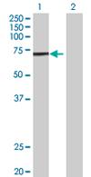 Western blot - ATAD3A antibody (ab67992)