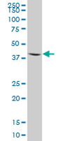 Western blot - Aminomethyltransferase antibody (ab67998)