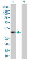 Western blot - PITPNC1 antibody (ab68013)