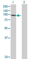 Western blot - Protocadherin beta 13 antibody (ab68017)