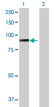 Western blot - SV2B antibody (ab68025)