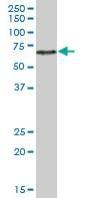 Western blot - ZNF480 antibody (ab68050)