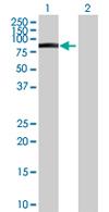 Western blot - FMN1 antibody (ab68058)