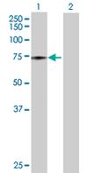 Western blot - ATAD3B antibody (ab68064)