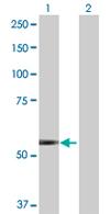 Western blot - TRIM45 antibody (ab68068)