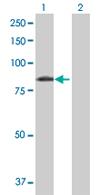 Western blot - FBXL5 antibody (ab68069)