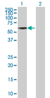 Western blot - Trim22 antibody (ab68071)