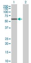 Western blot - CYP4B1 antibody (ab68088)