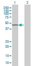 Western blot - RAPGEF5 antibody (ab68111)