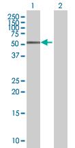 Western blot - ZFP161 antibody (ab68116)