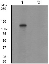 Western blot - Rb2 p130 (phospho S952) antibody [EP2387AY] (ab68136)