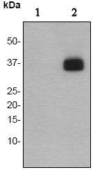Western blot - LAT (phospho Y200) antibody [EP983(2)Y] (ab68139)