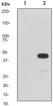Western blot - MEK1 (phospho T286) antibody [EP2364Y] (ab68140)