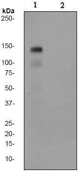 Western blot - Met (c-Met) (phospho Y1349) antibody [EP2367Y] (ab68141)