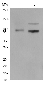 Western blot - TLR1 antibody [EPR2075] - Extracellular domain (ab68158)