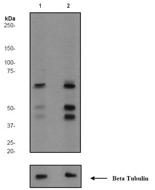 Western blot - SHC (phospho Y427) antibody [EPR778(2)Y] (ab68166)