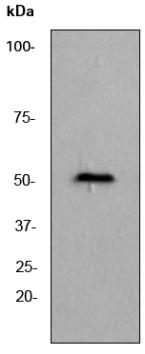 Western blot - beta III Tubulin antibody [EPR1568Y] (ab68193)